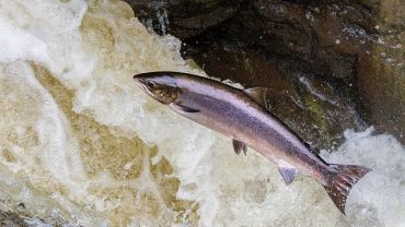 Salmon: A Deeper Look