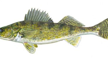 Walleye habitat